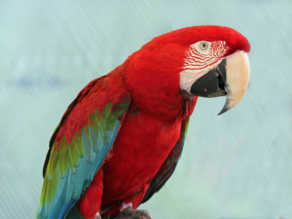 Macaw parrot red - photo#6