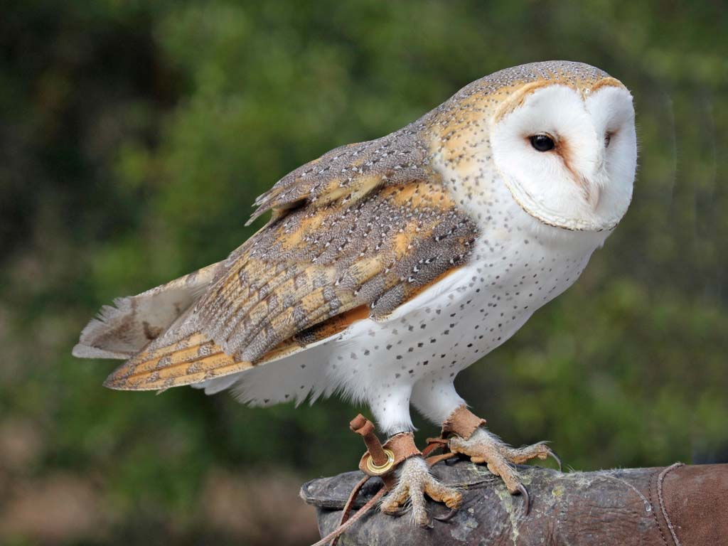 What are all the species of Owls known  Answers