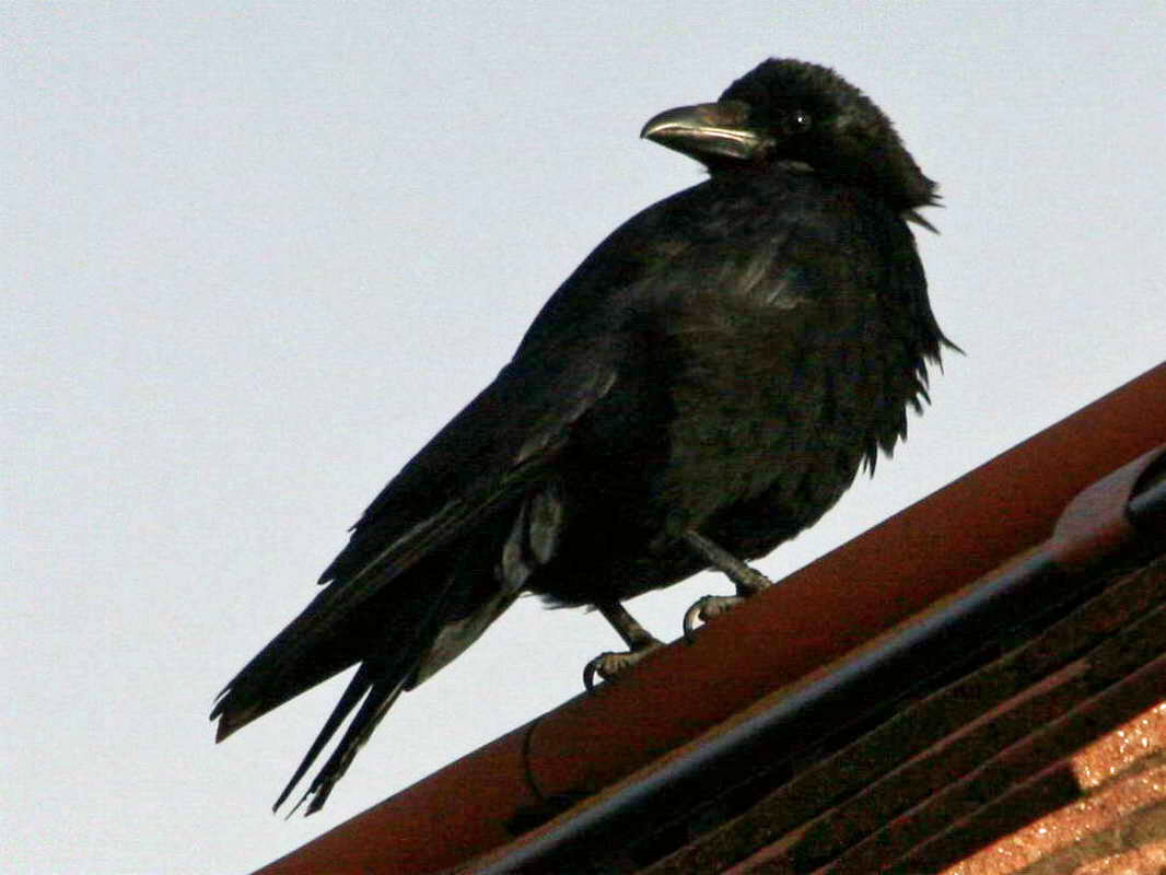 Hugin el cuervo robot Crow,%20carrion%2005-25a%20ENG