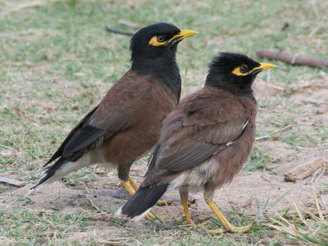 Mynah Bird - photo#40