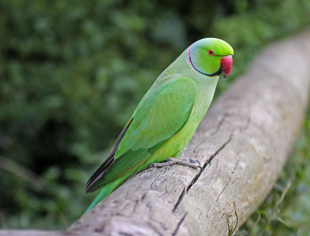 Asian ringnecked parakeets
