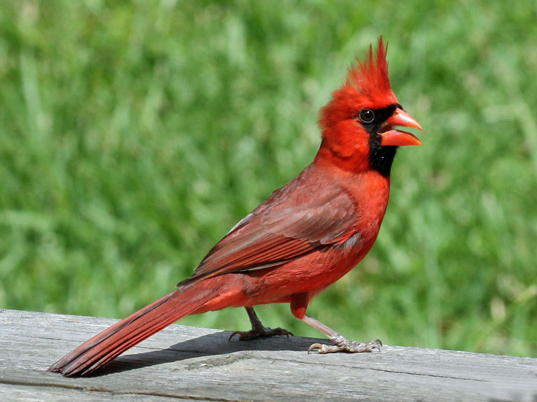 cardinal birds The cardinalidae are a family of passerine birds found in north and south america the family is comprised of buntings, cardinals, and grosbeakshowever, each of these categories of birds have similary named birds in other families.