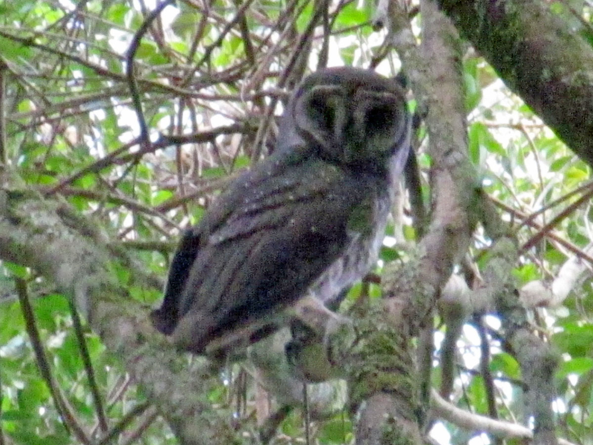 Masked owl sula island definition by Babylons free