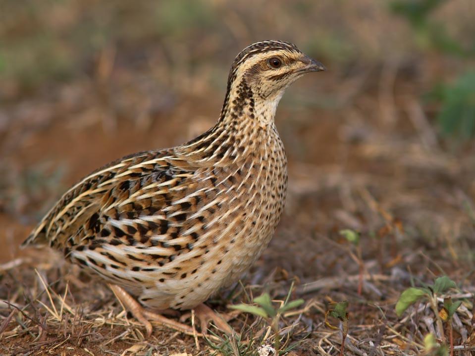 how to keep quail birds