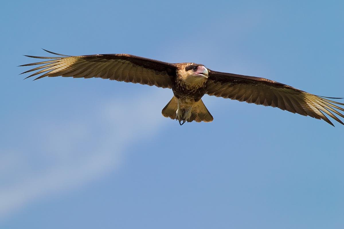 Baby falcon bird