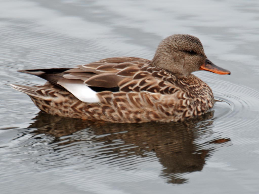 Male And Female Gadwall Duck Birds of europe: dipping ducks