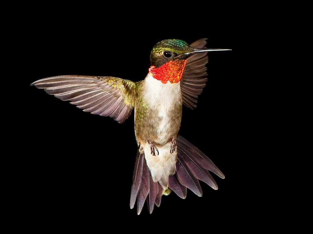 ruby red humming birds Named for the red iridescent patch of feathers on the throat of adult male birds,  ruby-throated hummingbirds are fairly common in woodlands.
