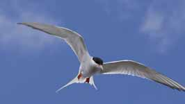 Image result for caspian terns USFWS
