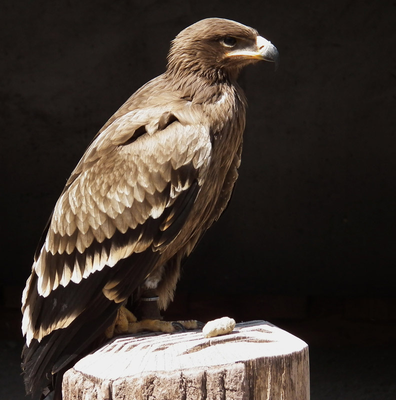 Eagle Eating Snake Snake Eagles Build Stick Nests