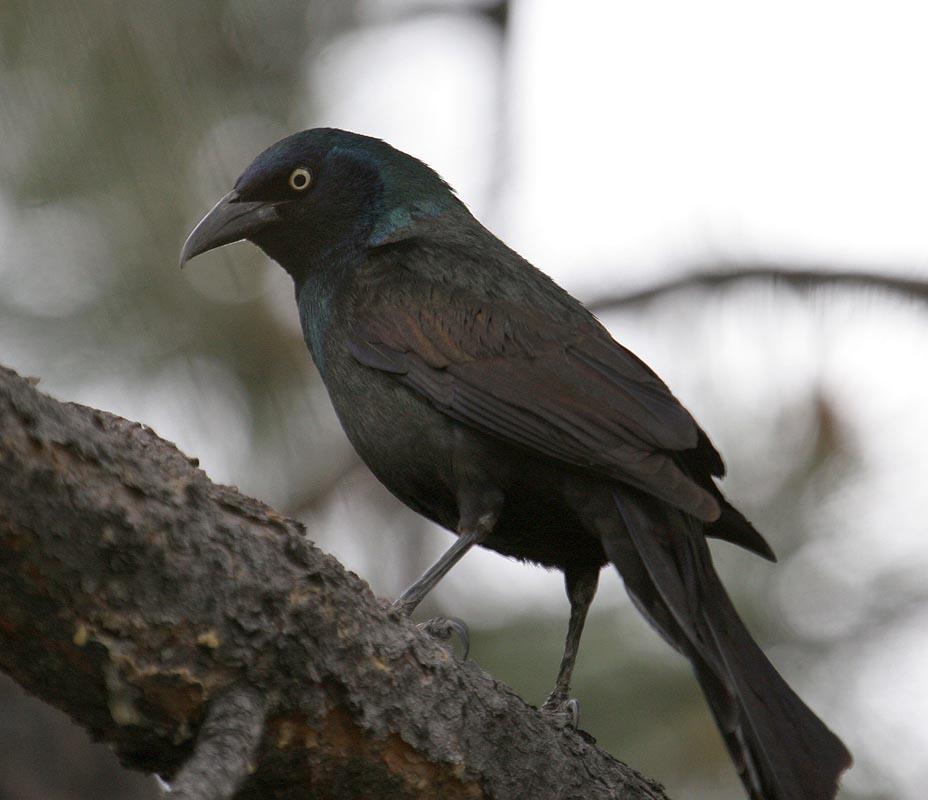 Birds: Birds Of The World: GRACKLES