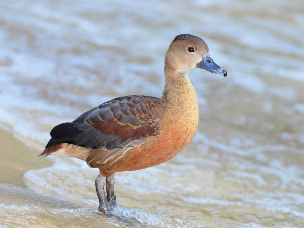 Lesser whistling duck - photo#10