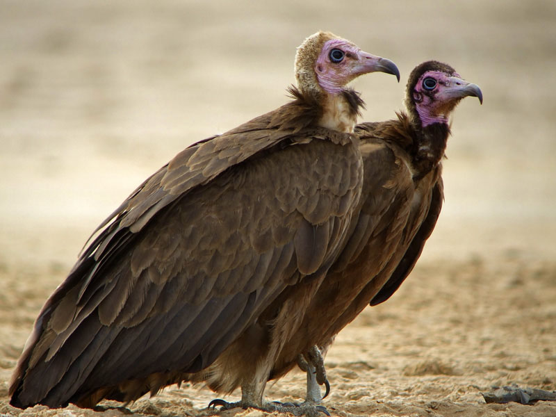 Birds of The World: Old World Vultures (Accipitridae)