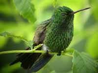 copper rumped hummingbird trinidad