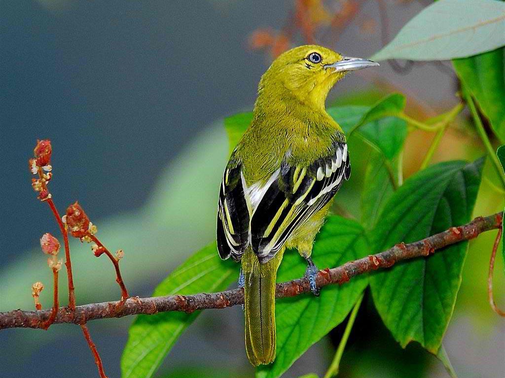 birds of the world ioras family aegithinidae