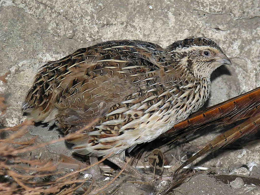 1  Female 2  Male Quail  Quail Bird Male