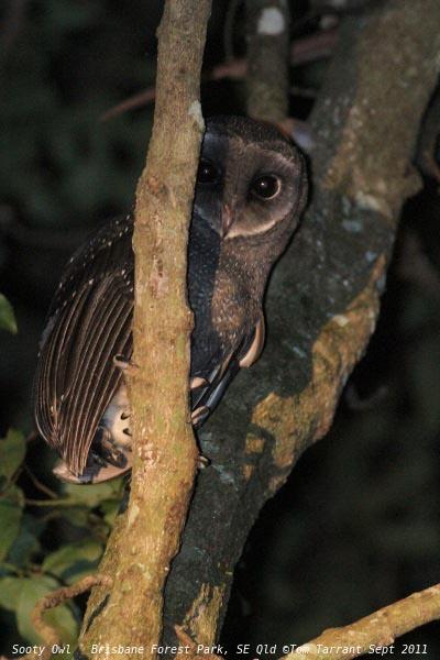 Birds of The World: Barn Owls (Tytonidae) - photo#6