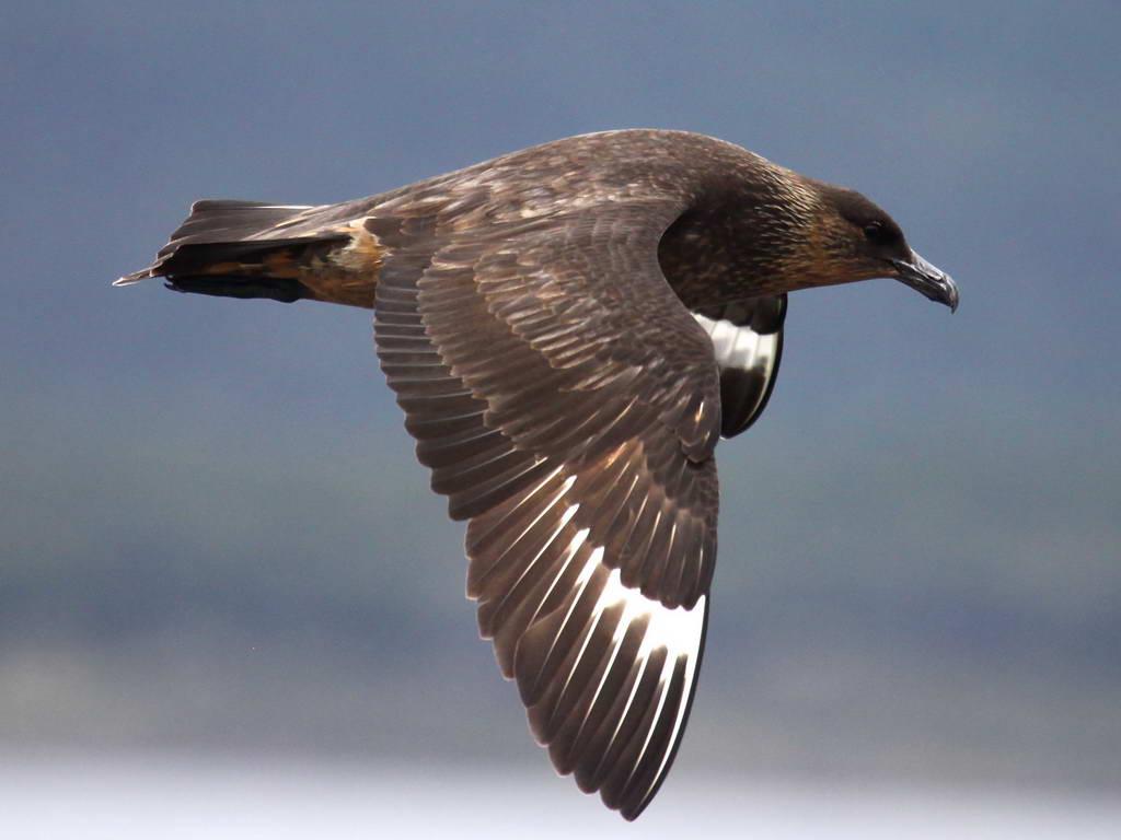 Gull Skua