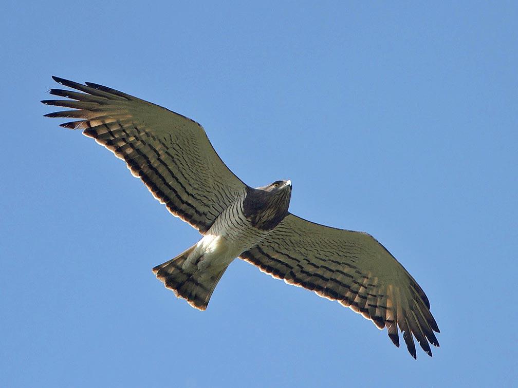 Beaudouins snake eagle - photo#9