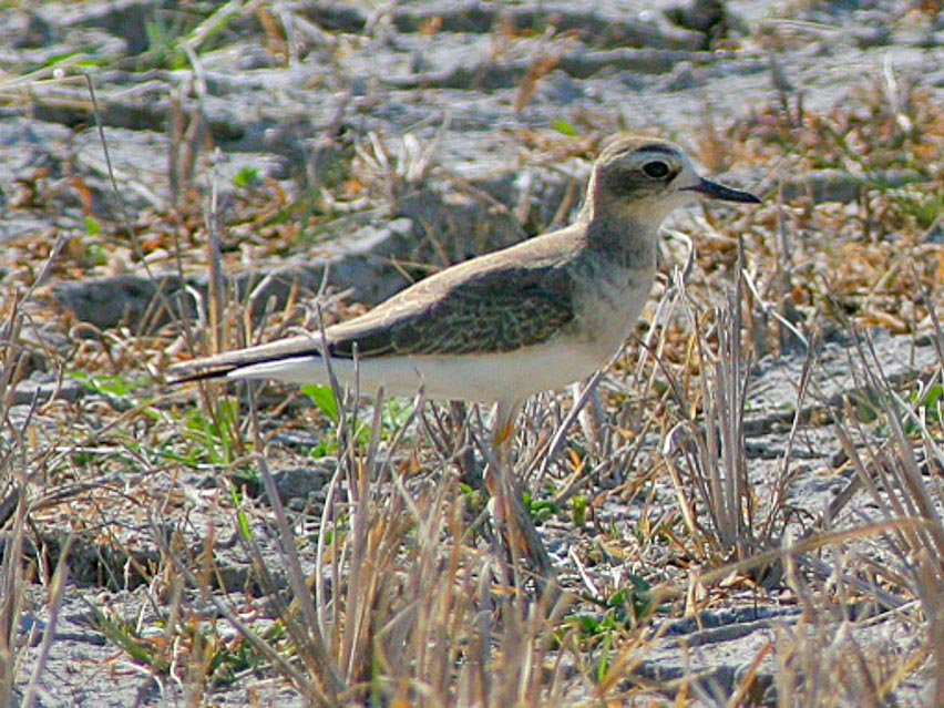 Color Ring Snowy Plover California