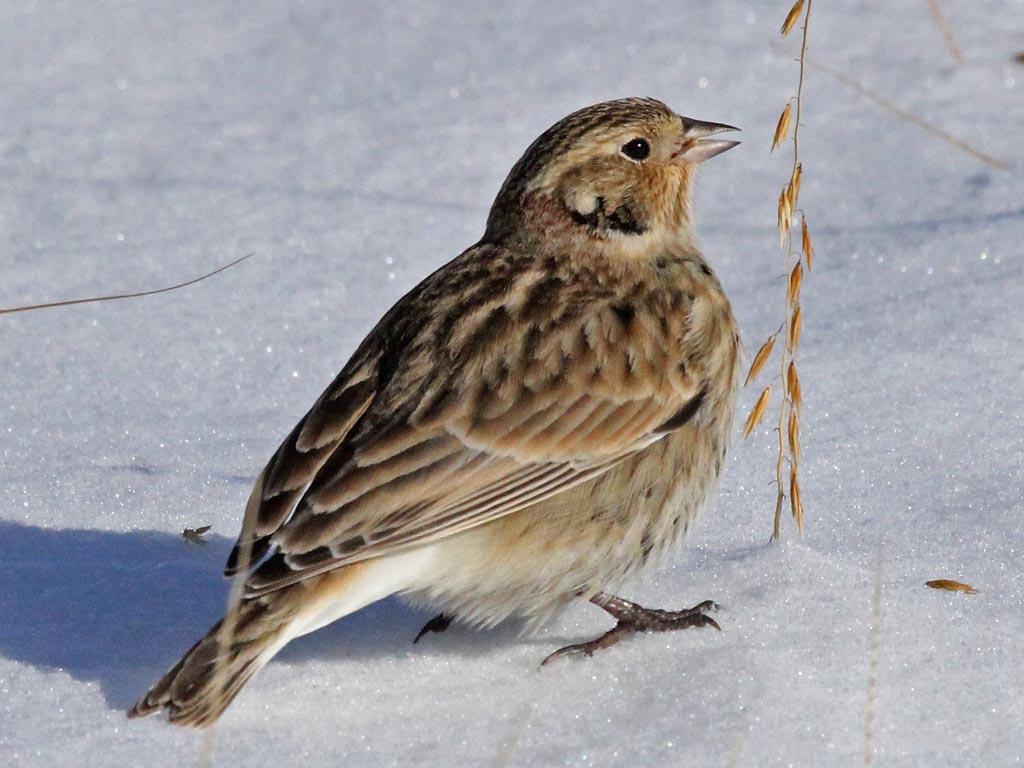 Longspurs | North American Birds | Birds of North America