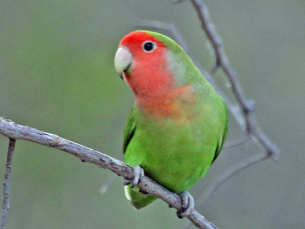 Citaten Love Bird : Birds of the world parrots and their allies