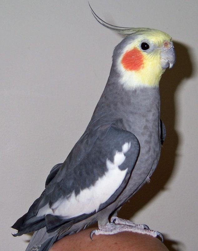 Male Grey Cockatiel