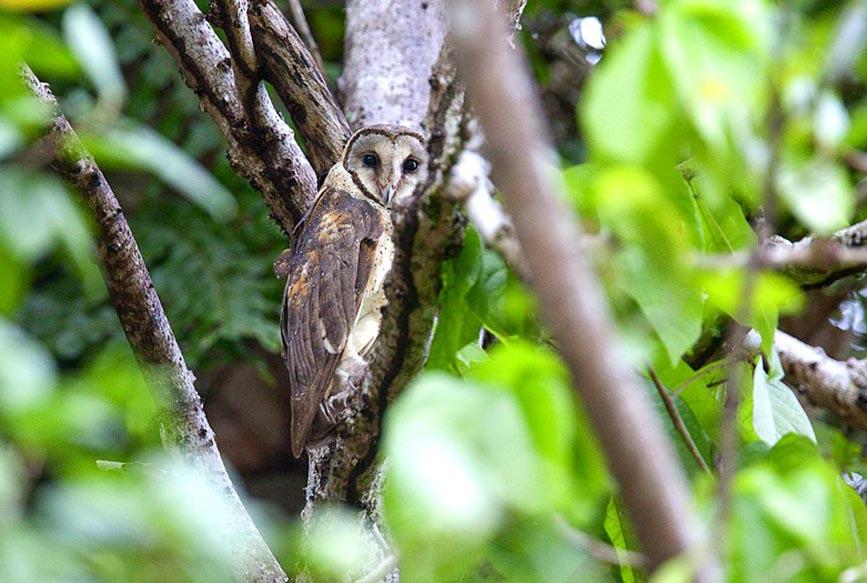 Birds of The World: Barn Owls (Tytonidae) - photo#5