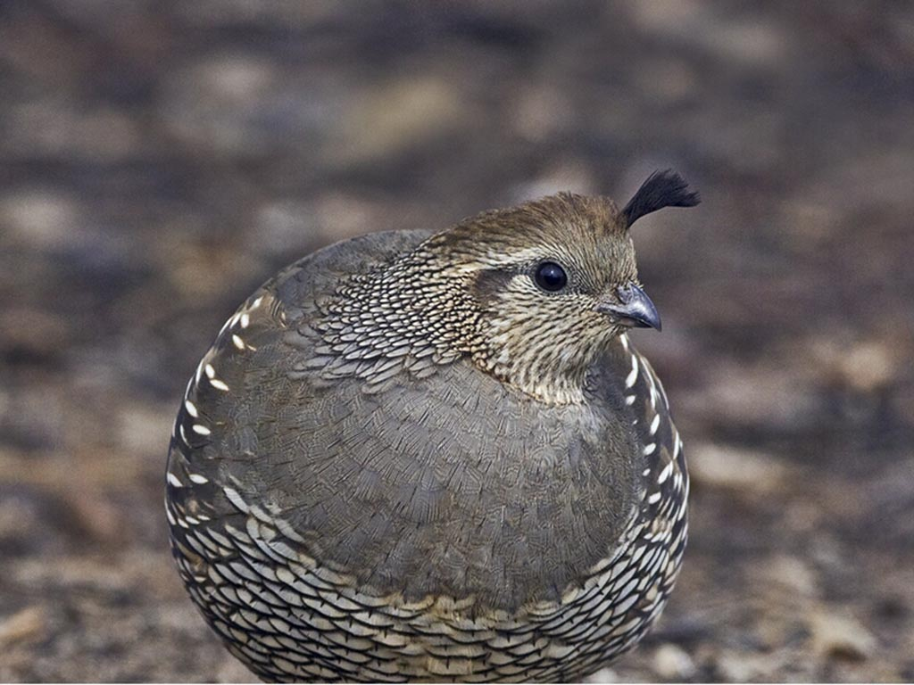 Birds of The World: New World Quail