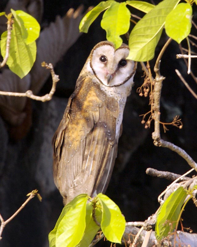 Birds of The World: Barn Owls (Tytonidae) - photo#1