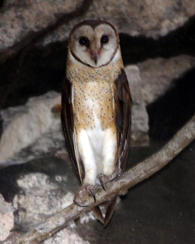 Birds of The World: Barn Owls (Tytonidae) - photo#3