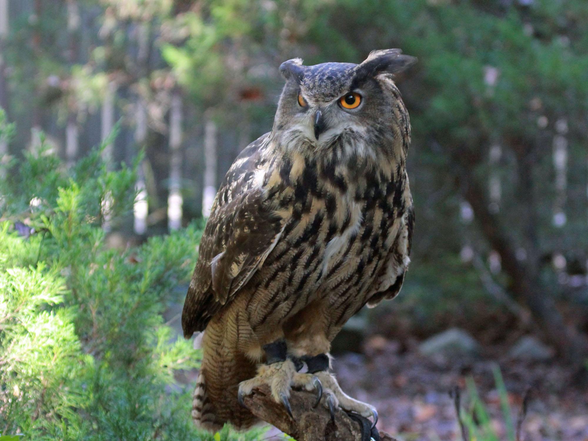 Owl 57 Birds of The Wo...