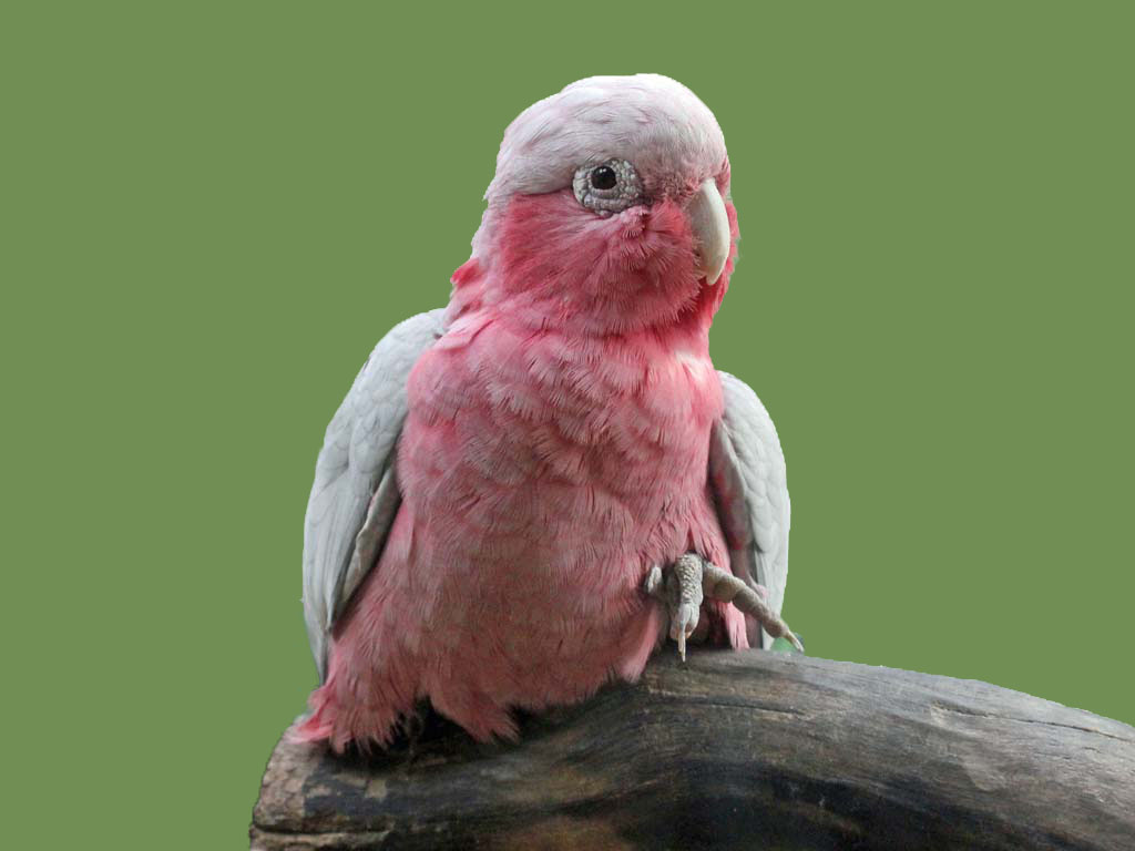 Buy Rose Breasted Cockatoo