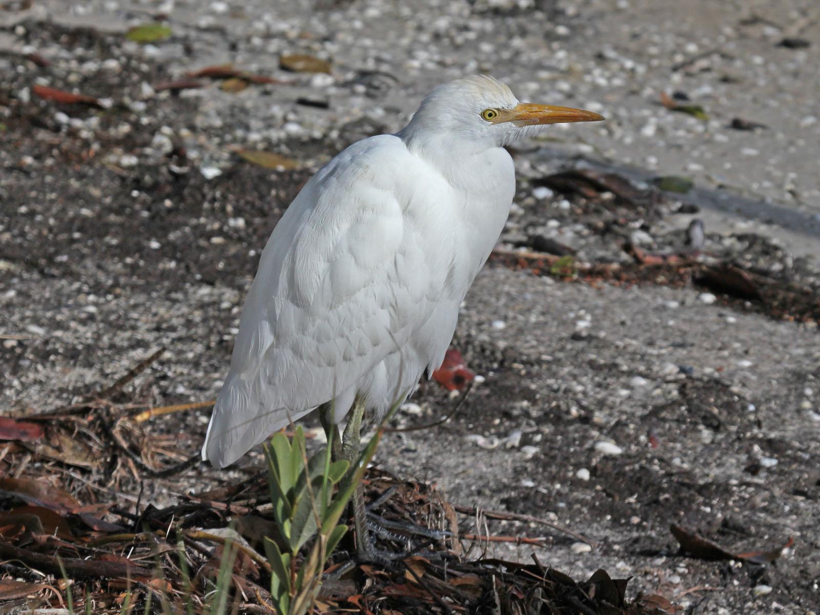 Birds of The World: Egrets (Ardeidae)