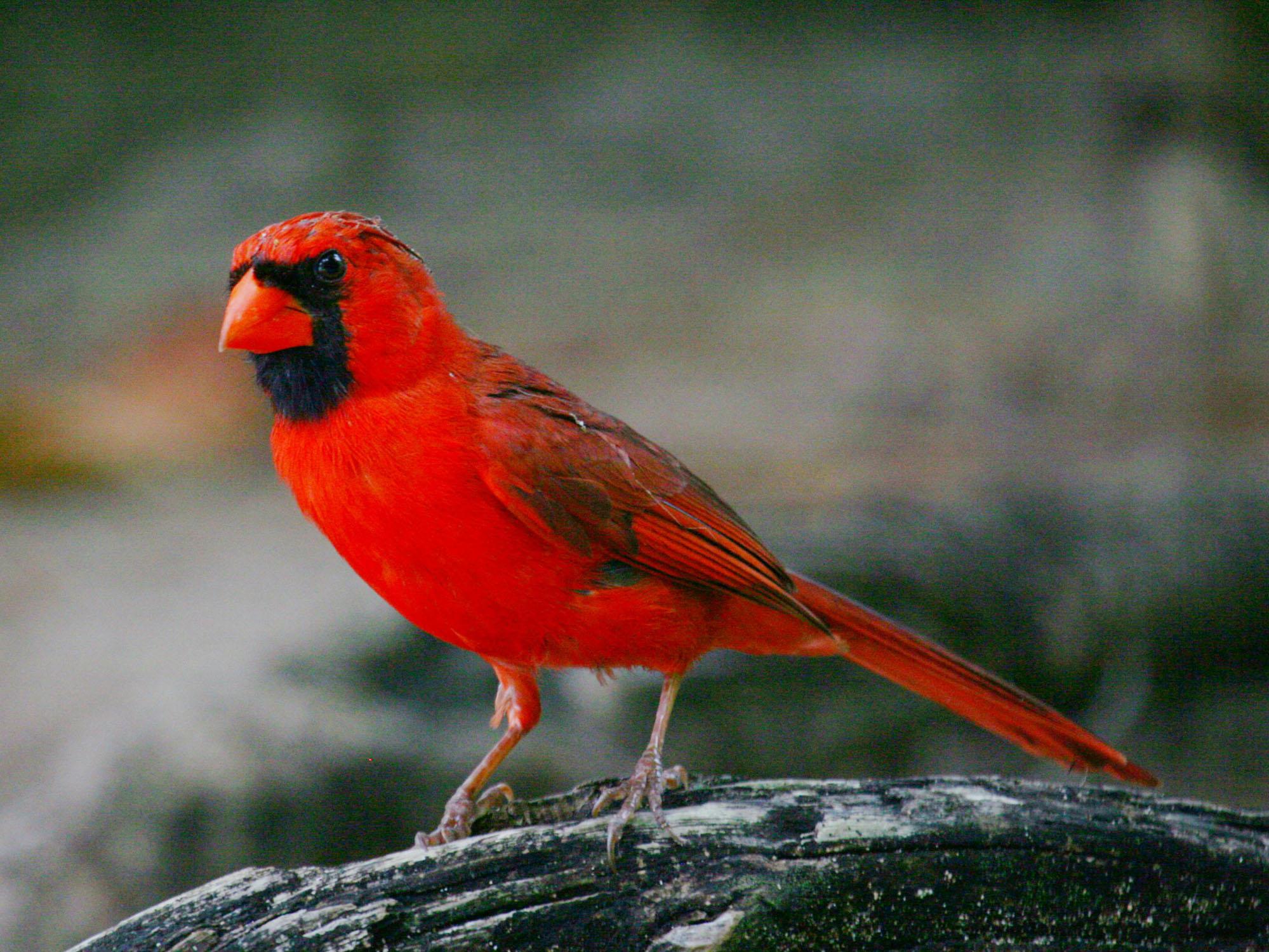 Birds Of The World Cardinals And Tanagers Cardinalidae-8431