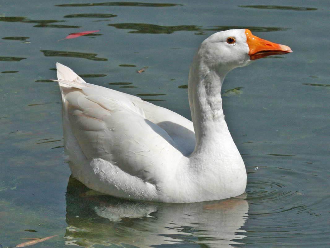 Картинки белого гуся