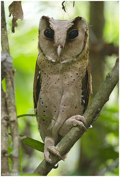 Birds of The World: Barn Owls (Tytonidae)
