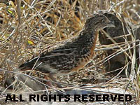 Birds of The World: ButtonQuails (Turnicidae)