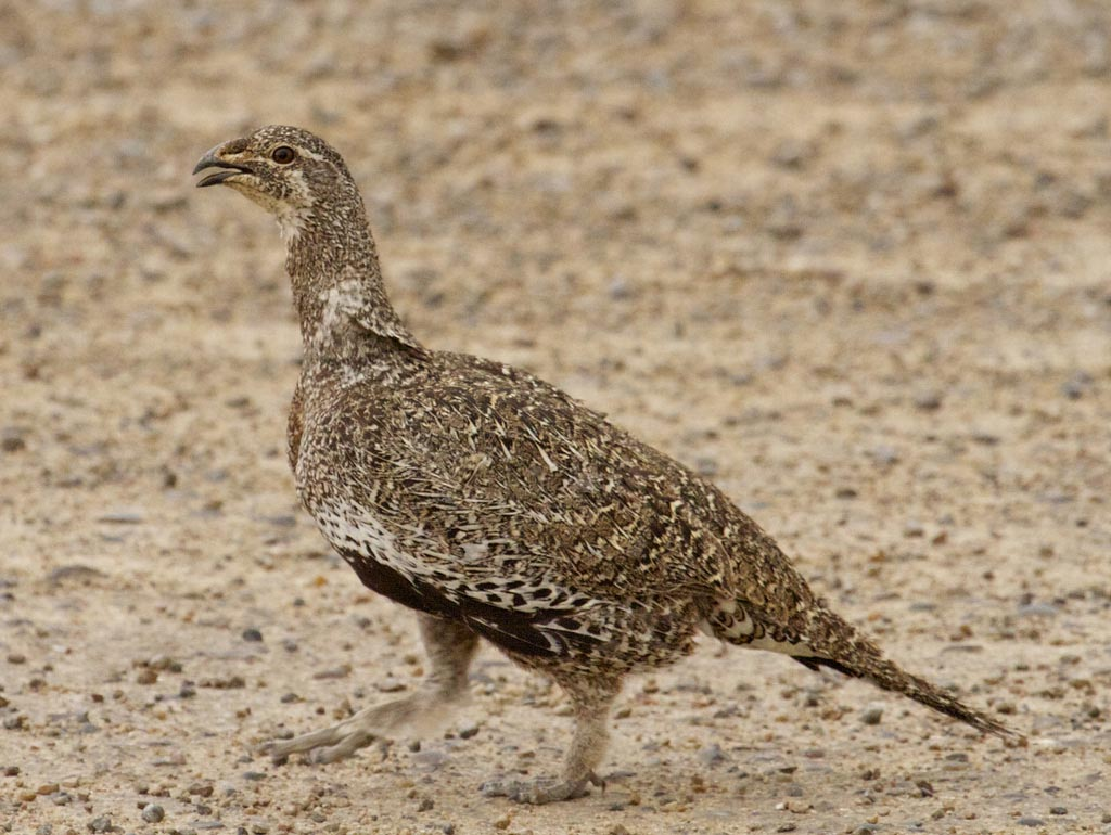 Sexual selection of sage grouse young