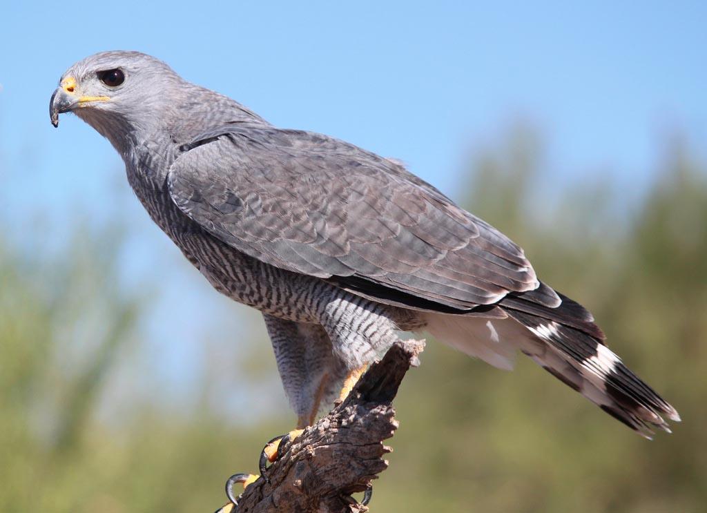 втором случае хищные птицы липецкой области фото с названиями небольшие белые узелки