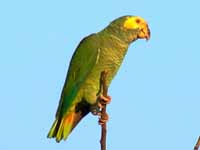 birds of the world parrots and their allies