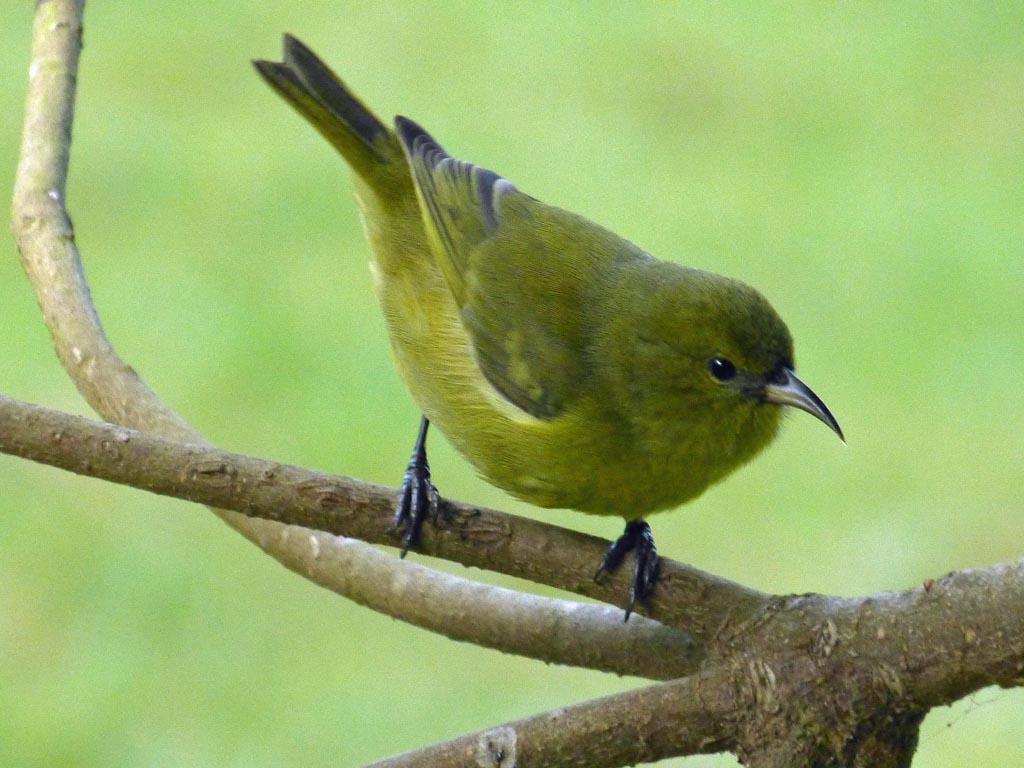 birds of hawaii: fringillid finches