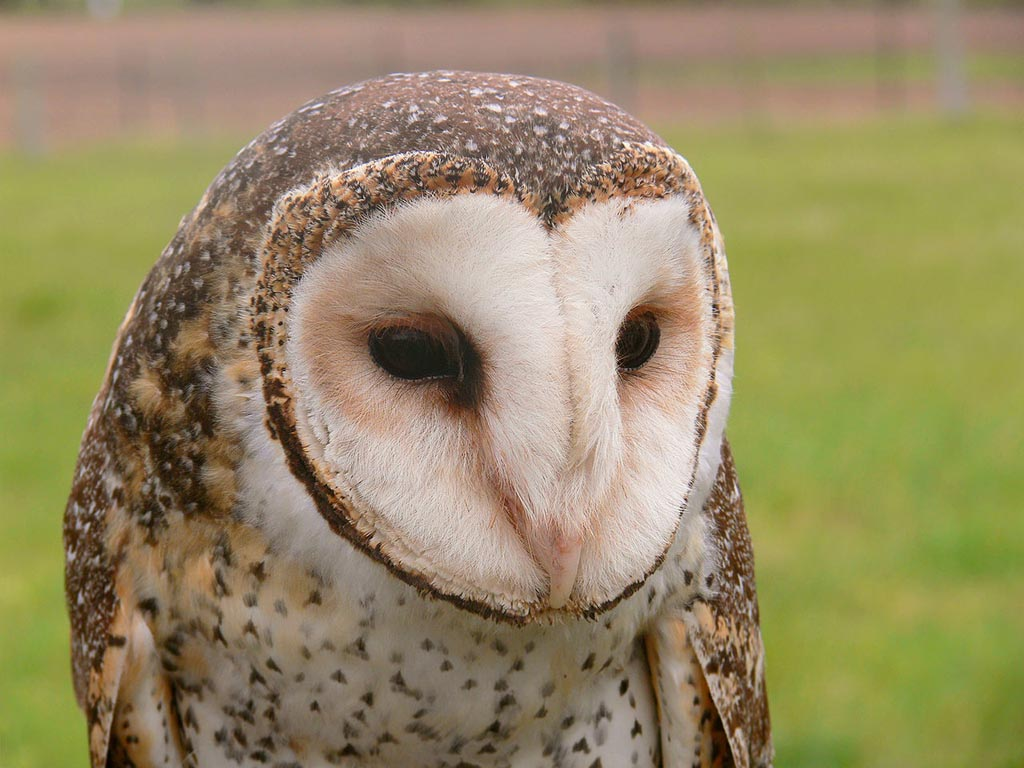 Birds Of The World Barn Owls Tytonidae