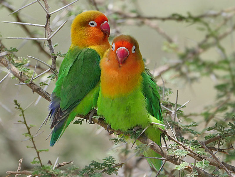 Birds of The World: Parrots and Allies (Psittacidae)