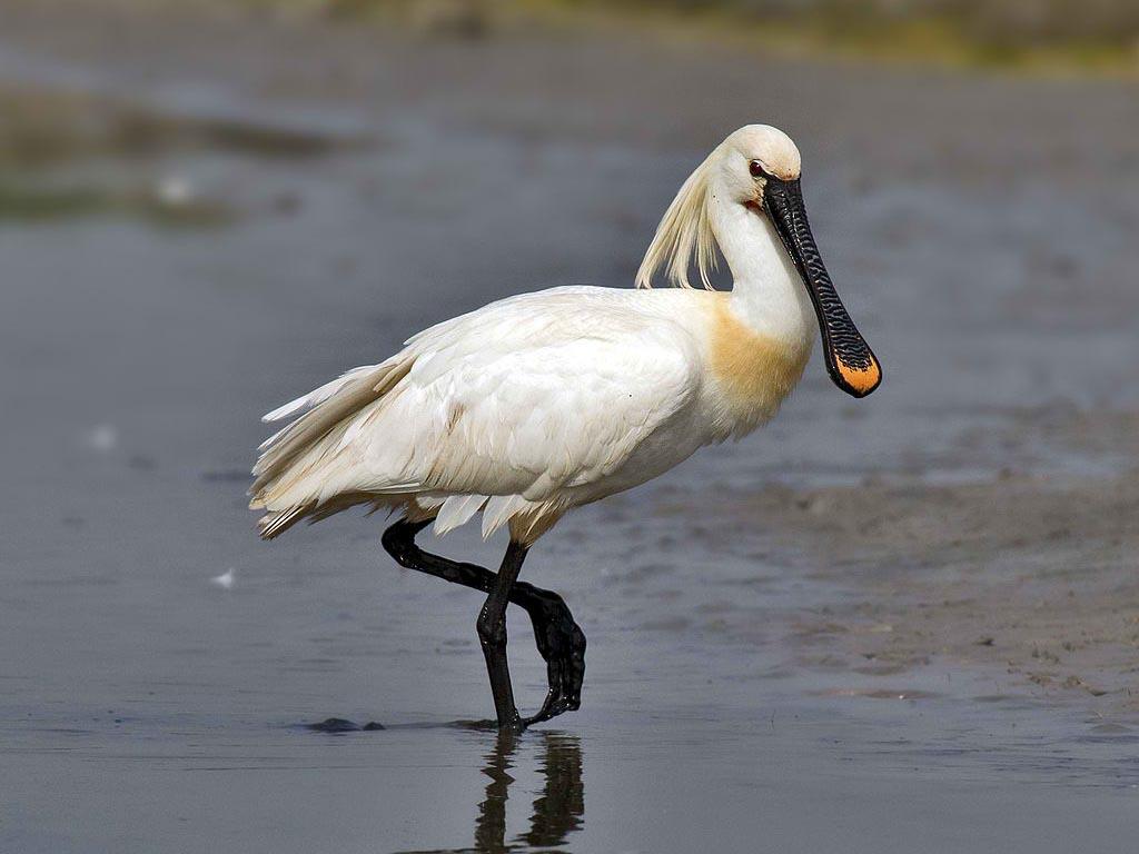 Birds Of The World: Apoonbills (Threskiornithidae